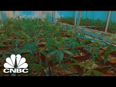 The 'Side-Effects' Of Pot | The Profit | CNBC Prime
