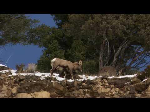 Bighorn Sheep of Yellowstone