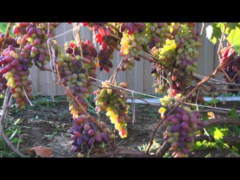 Виноград сорт Ромео (сентябрь)