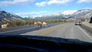 Jasper National Park big horn sheep on highway