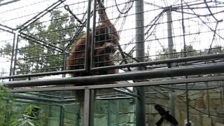 Super Sumatran Orangutan