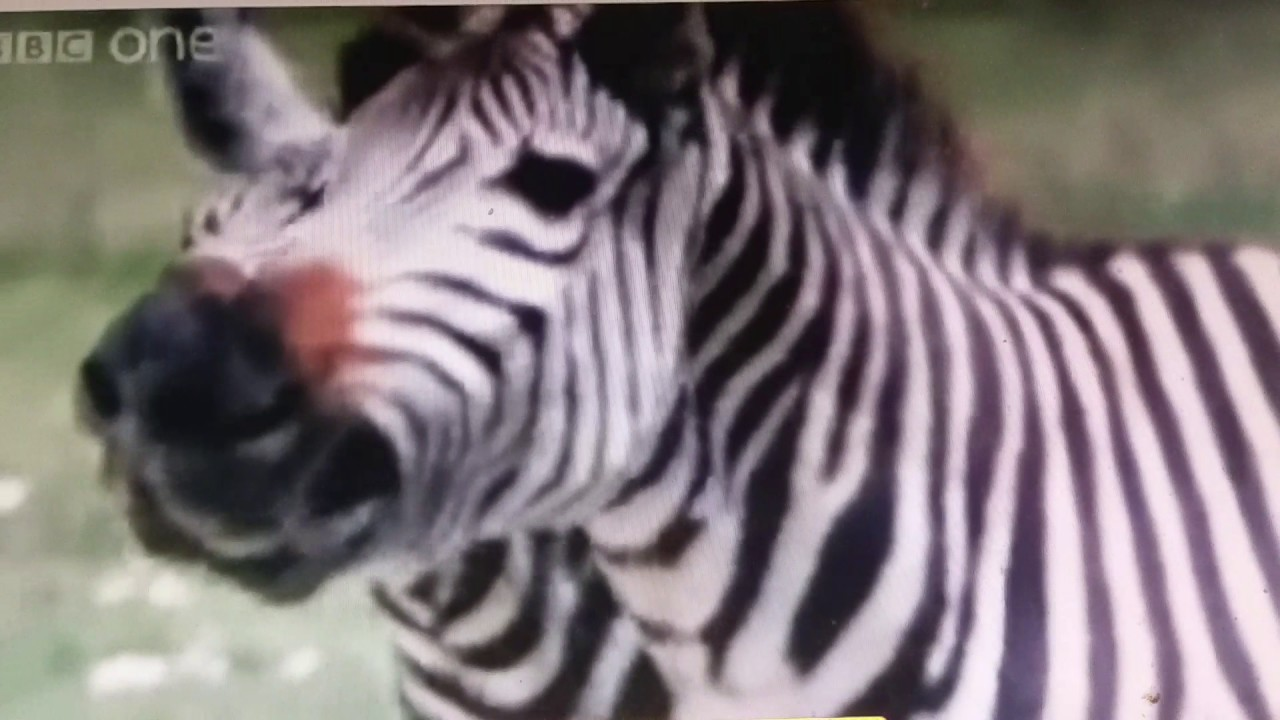 Zebra laugh courage scream racing stripes the three robbers Tomi ungerer