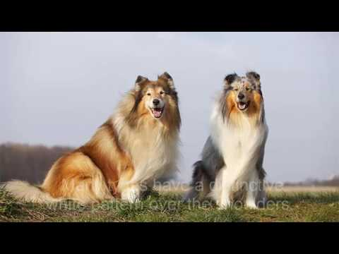 Dogs  Border Collie information here