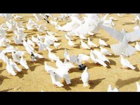 Кража века 99 голубей вывезли из московской голубятни - YouTube