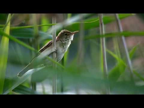Trzcinniczek / Reed warbler / Acrocephalus scirpaceus - 2018