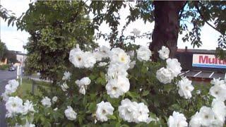 Белые цветы. А жизнь идет. стихи, Виталий Подопригора