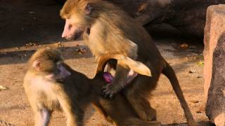 Baboons having sex at the Kölner Zoo