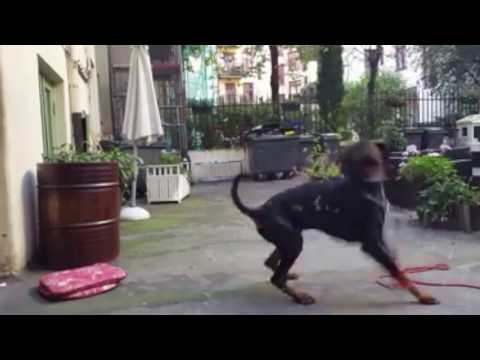 Doberman Pinscher Playing With Bubbles Too Cute