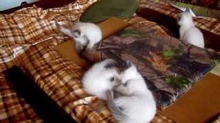 сиамские котята дерутся