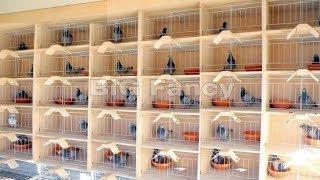 BEST Modern pigeon loft design - Pigeons breeding Coops