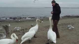 Кормим лебедей на пляже ))