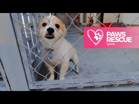 Saving one stray at a time | Paws Rescue Qatar