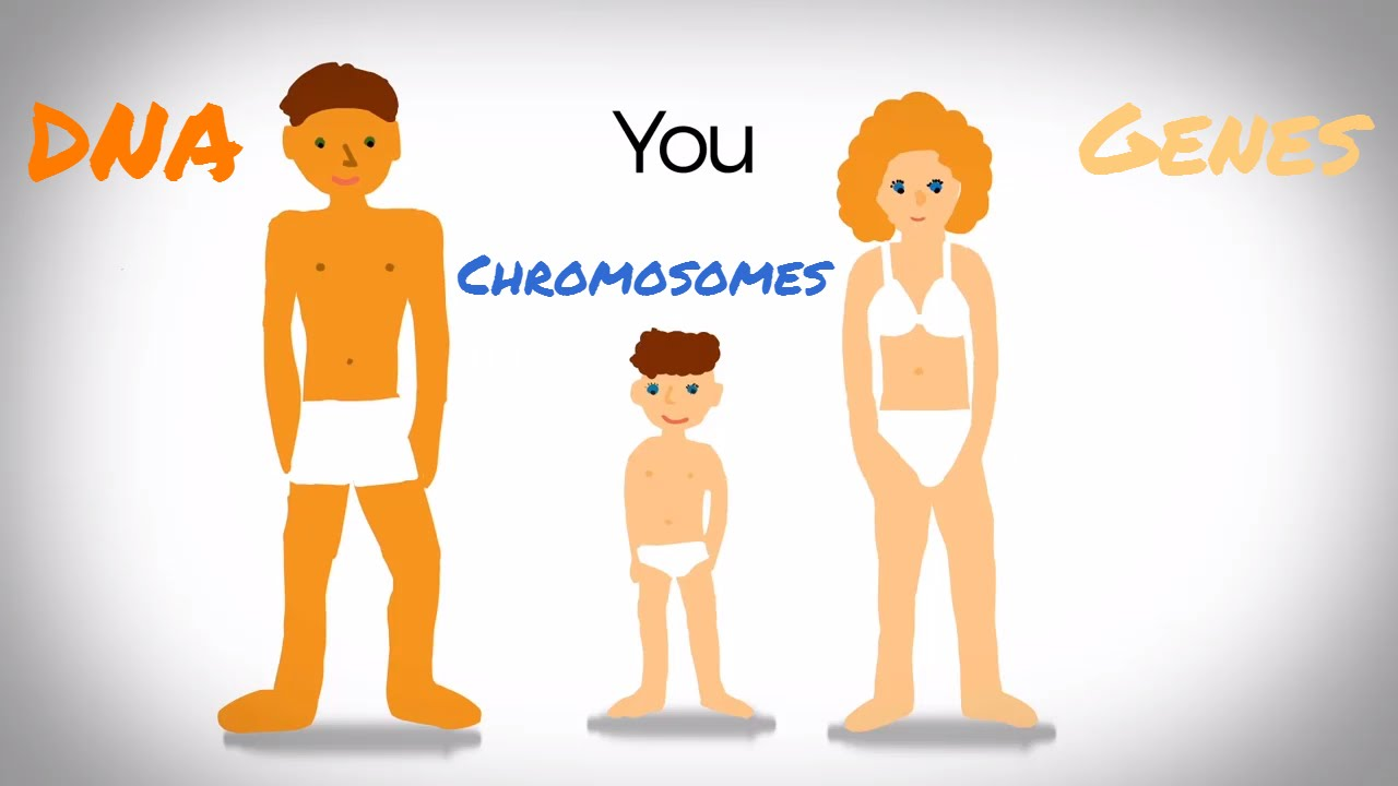 Genes, Dna And Chromosomes - Youtube-2617