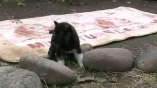 生後29日目の黒い紀州犬の仔犬です。