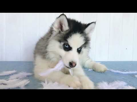 Cube pure breed Mini Husky