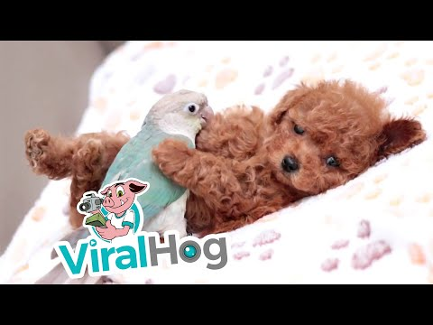 Parrot and Puppy Pair || ViralHog