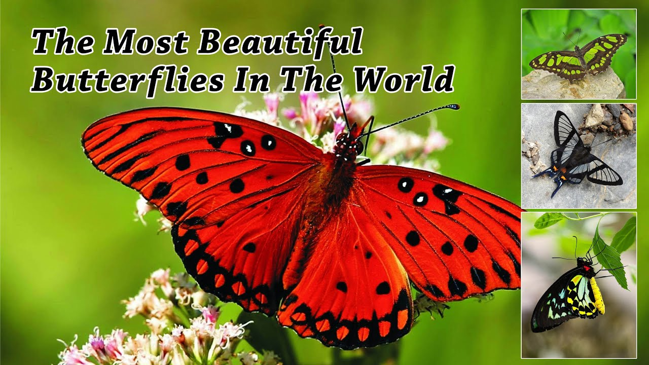 The Most 37 Beautiful Butterflies In The World HD - YouTube  The Most 37 Bea...