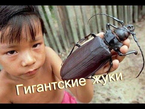 Самые большие жуки планеты Земля. Обзор гигантских насекомых
