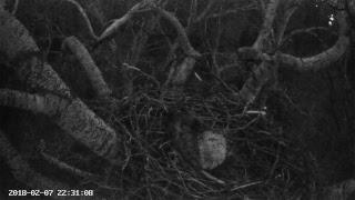 Rétisas fészekkamera - DINPI - White-tailed Eagle nest