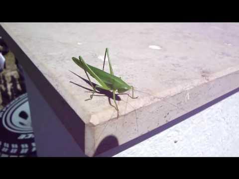 Mooie groene sprinkhaan schrik niet youtube mooie groene sprinkhaan schrik niet altavistaventures Image collections