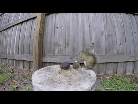 Eastern Gray Squirrel | Squirrels Eating Avocados Up Close