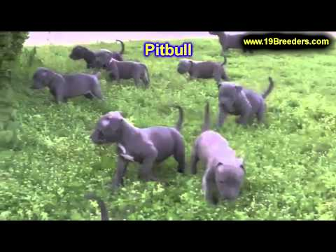 Pitbull, Puppies, For, Sale, In, Lansing, Michigan, MI, Oakland, Macomb, Kent, Genesee, Washtenaw, O
