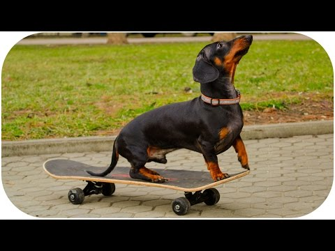 Dachshund tricks (Play dead, jumping, roll over, snake, skateboarding) | Dog training video