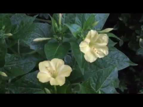 4 Reasons to Grow Four O'Clocks! #lowmaintenance #flowers