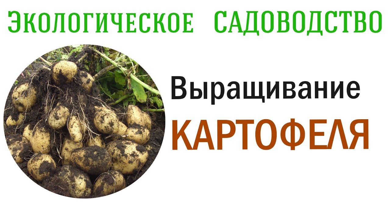 КАРТОФЕЛЬ  - выращиваем без садовой химии. Видеолекция