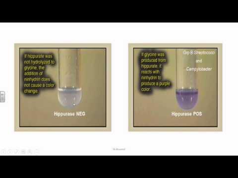 streptocoque du groupe b group b streptococci or streptococcus agalactia