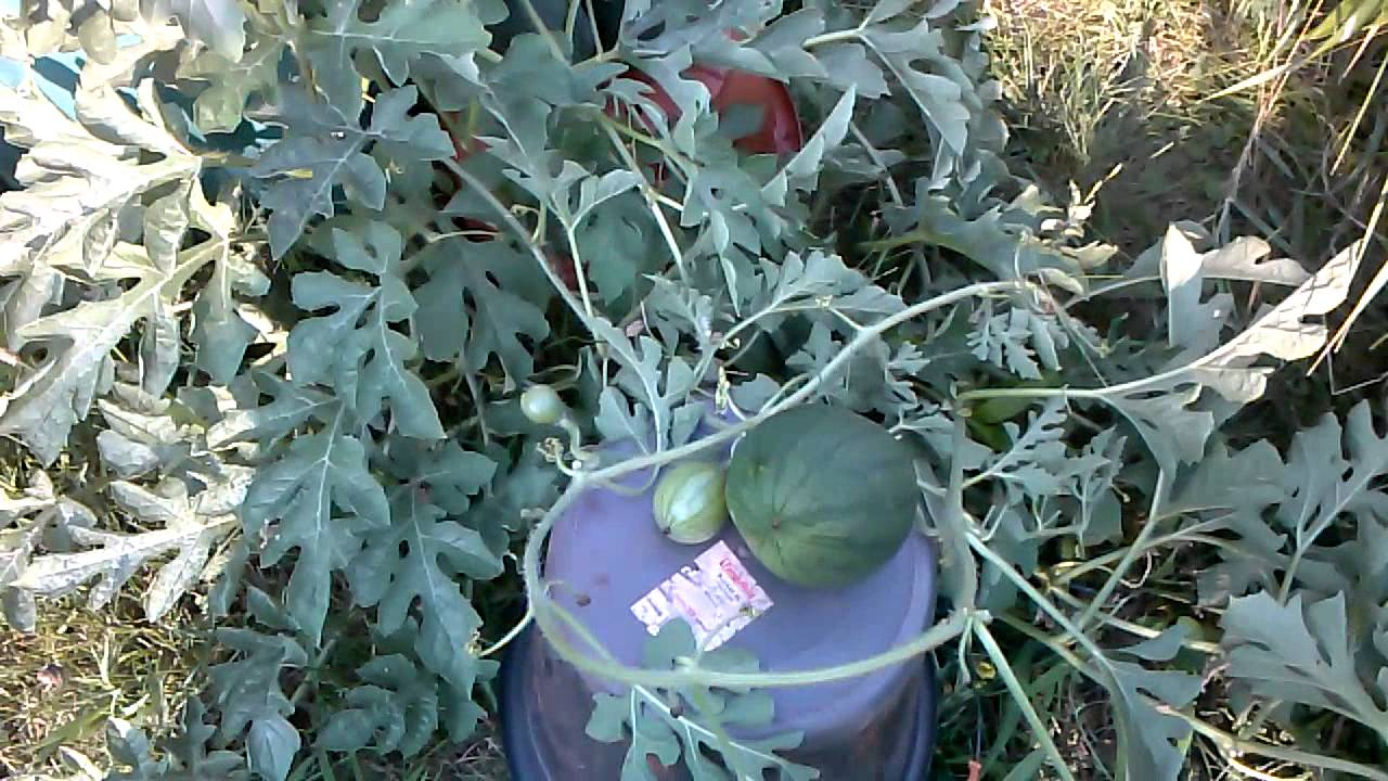 2014 sugar baby watermelons in containers - YouTube