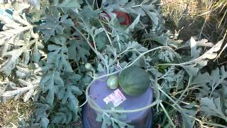 2014 sugar baby watermelons in containers