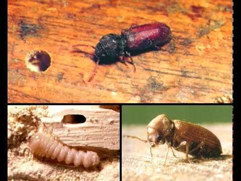 Houtworm bestrijden? Met HG houten meubels behandelen tegen houtworm