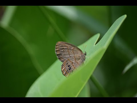 Rescuing Rare Butterflies: Teen Science Cafe