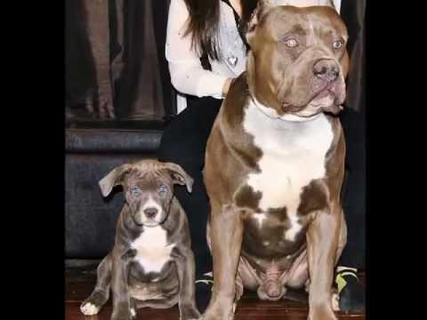biggest pitbull in the world, XL XXL pitbull, XL bully ...