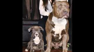 biggest pitbull in the world, XL XXL pitbull, XL bully pitbull, bluenose pitbulls, pitbull puppies