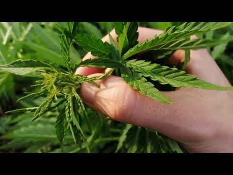 Вопрос: Как определить женское и мужское растение марихуаны?