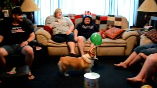 Angus Our Pembroke Welsh Corgi Goes Nuts Over Balloons