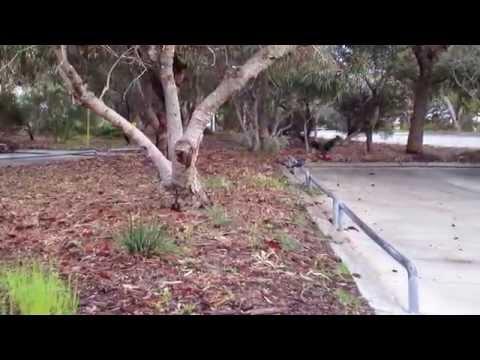 Black Cockies browsing, Murdoch University, Perth, Western Australia