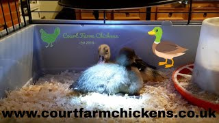 How to care for ducklings - how to raise ducklings in a brooder