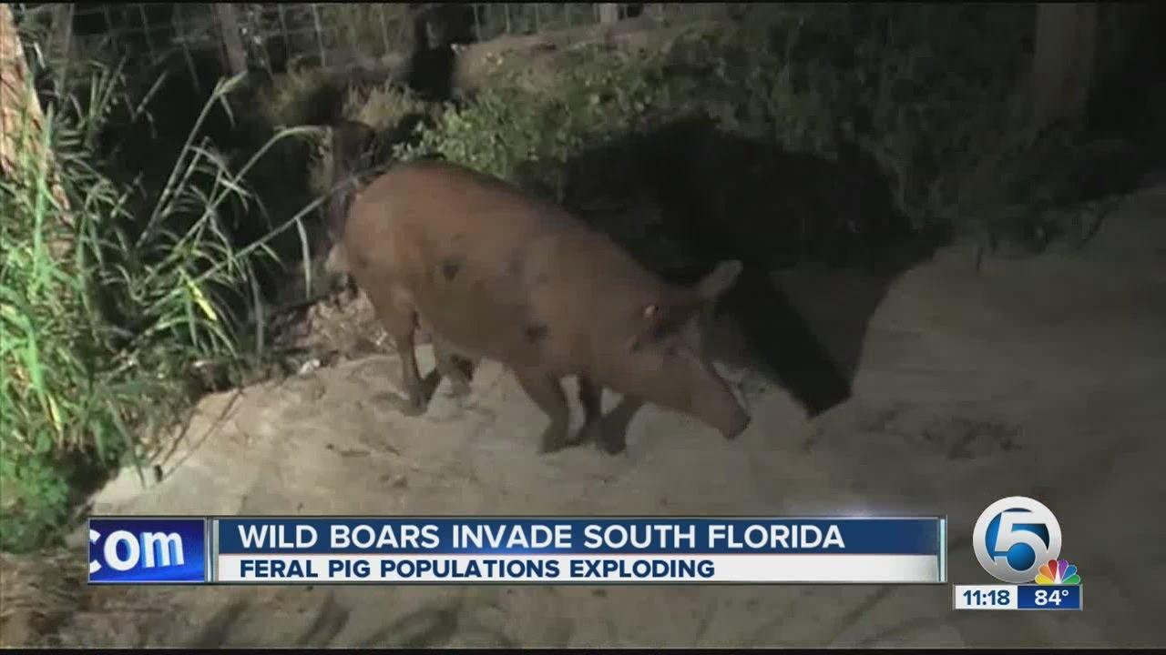 Wild boars invade South Florida