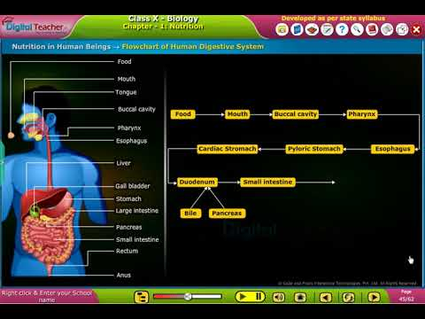 Flow Chart Of Digestive System In Human Beings Class 10 Biology