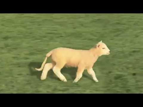 Сумасшедшие овцы
