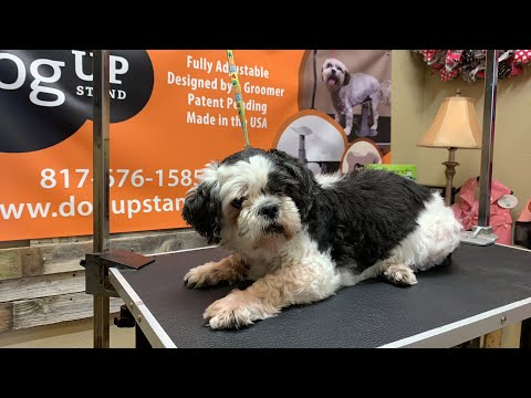 just-quick-shave-my-shih-tzu-that's-all-i-want