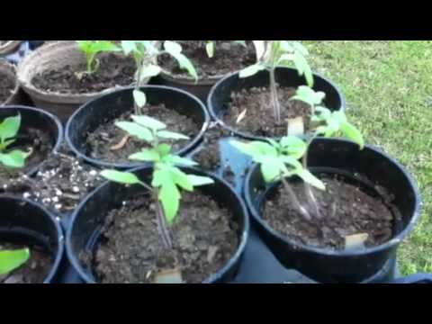 Update on tomato and pepper seedling growth.