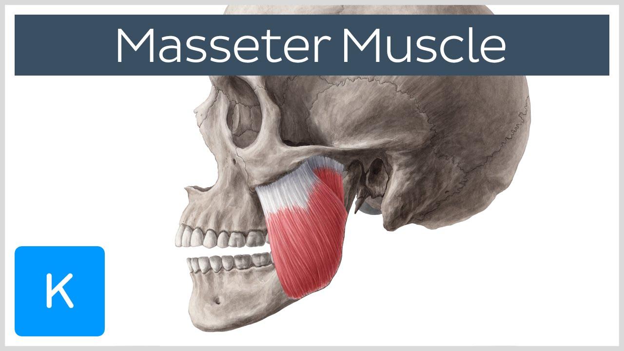 Masseter Muscle: Origin, Insertion, Innervation & Function - Anatomy ...