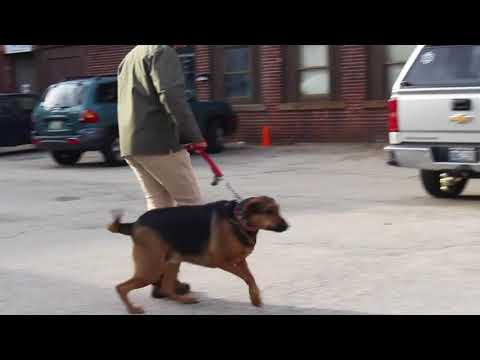 Dog Training | Check out the awesome difference in Ginger | Solid K9 Training Dog Training