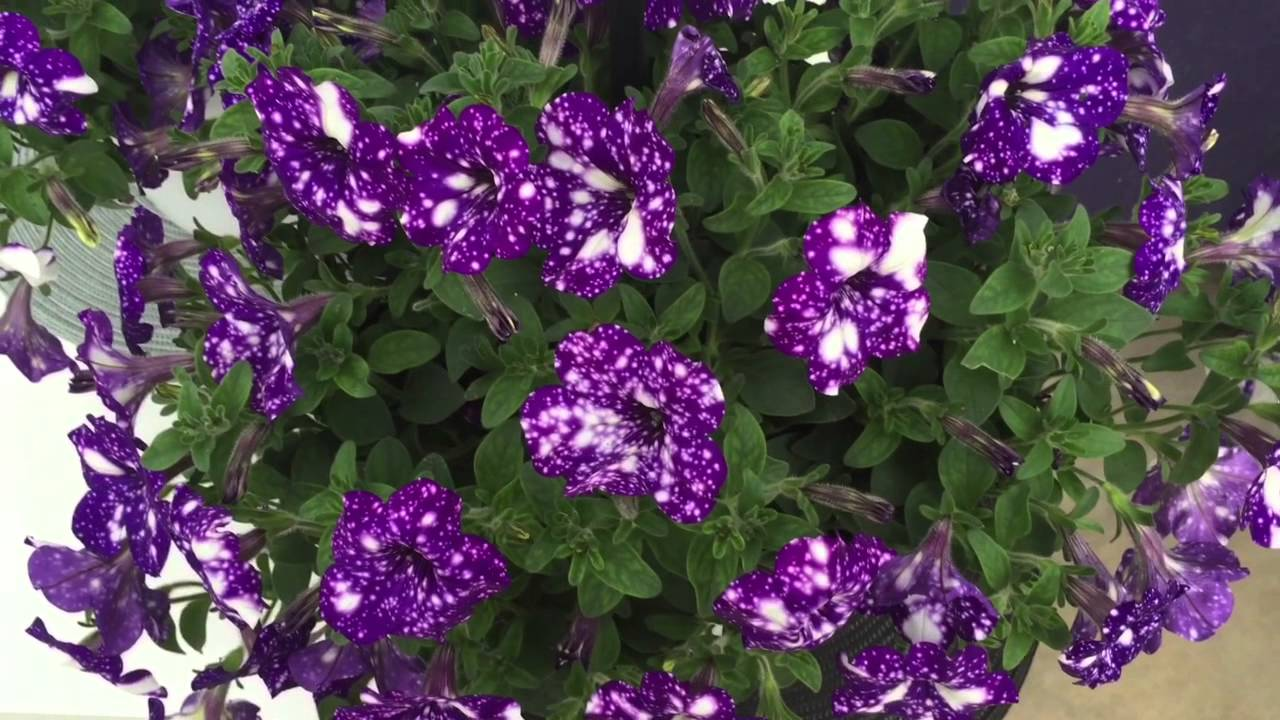 Night Sky Petunia Youtube