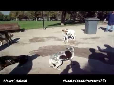 Save Stray Dogs from Legal Hunting Chile