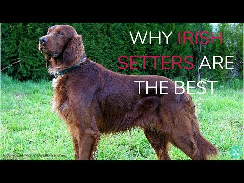 Why Irish Setters Are The Best!